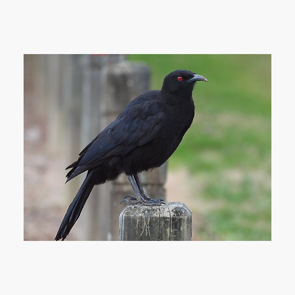White Winged Chough Photographic Print