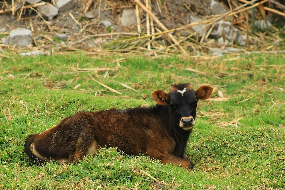 Calf in a Meadow by rhamm