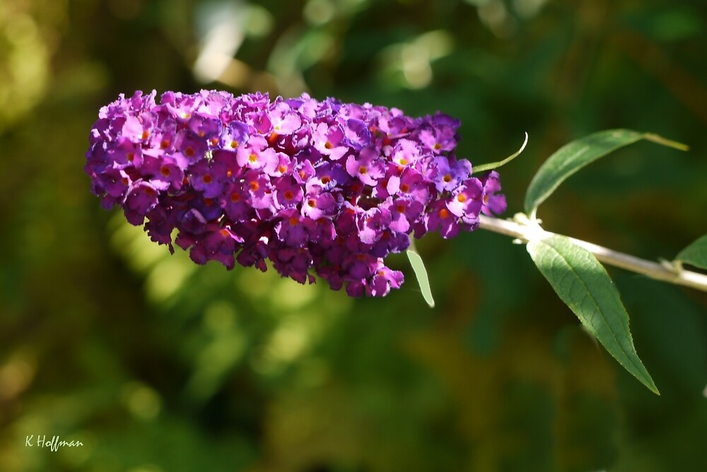 Lavender and Lace by Kenneth Hoffman