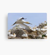 Fly by - Saltee Island, County Wexford, Ireland Canvas Print