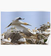 Fly by - Saltee Island, County Wexford, Ireland Poster