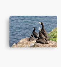 waiting for mum, cormorant chicks, Saltee Island, County Wexford, Ireland Canvas Print