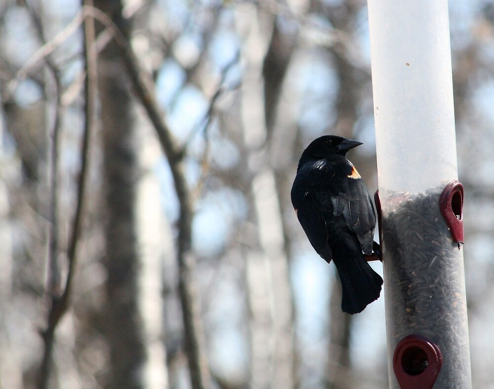 Red Winged Blackbird at a Feeder by rhamm