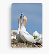 Gannets greeting, Saltee Island, County Wexford, Ireland Canvas Print