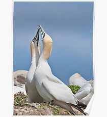 Gannets greeting, Saltee Island, County Wexford, Ireland Poster