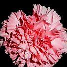 Pink carnation Aug 2011 by karenkirkham