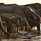 Elephants at the Chobe River, Botswana by Brian Healy Photography