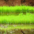 Paddy Field by Shiju Sugunan