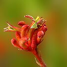 Kangaroo Paw, Anigozanthos 'Big Red' by JuliaKHarwood