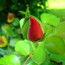 The Beautiful Rose Bud by Wanda Raines
