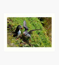 Puffin courtship, Saltee Isand, County Wexford, Ireland Art Print
