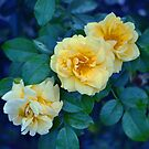 Yellow Roses by Rodney Campbell