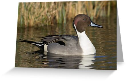 Pintail by shaftinaction