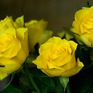 Yellow roses, symbol of friendship and joy by steppeland