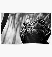 White - Faced Scops Owls Poster