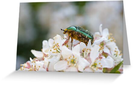Rose Chafer by shaftinaction