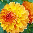 Orange Garden Dahlia Flowers Botanical art prints Floral by BasleeArtPrints
