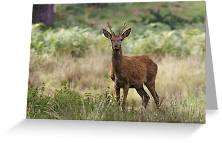 Red Deer by shaftinaction