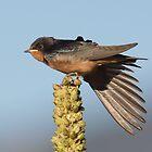Barn Swallows by kurtbowmanphoto