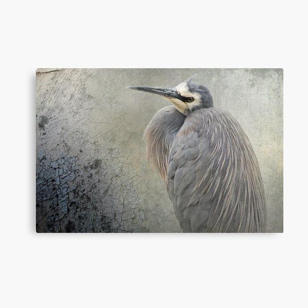 White Faced Heron Canvas Print