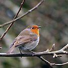 Robin on Tree  Branch. by JoeTravers