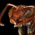Macro Wasp by Douglas Gaston IV