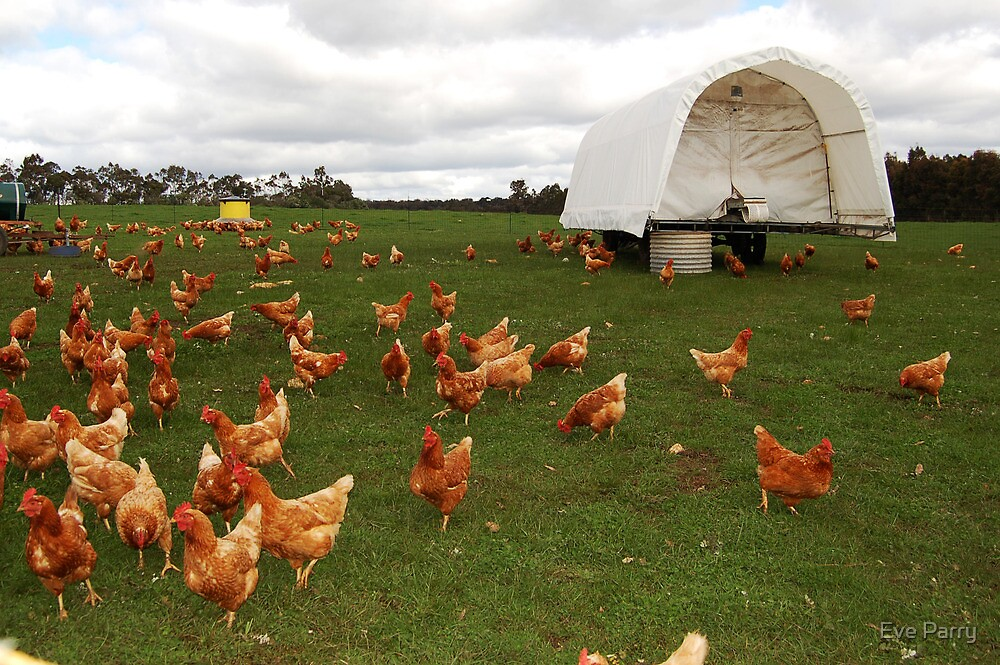 Happy Chickens (the life that all chickens deserve to live) by Eve Parry