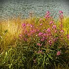 Fireweed at Hidden Lakes by Yukondick