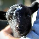 Lamb Cuddles by Kym Howard
