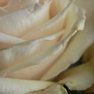 Beauty of the White Rose by lissygrace