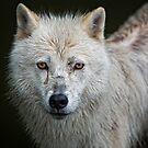Portrait of an Arctic Wolf by Daniel  Parent