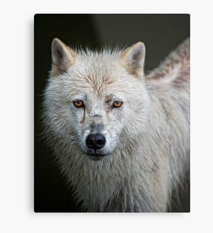Portrait of an Arctic Wolf Metal Print