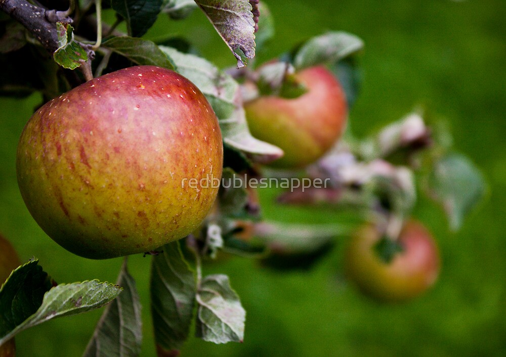 Apple Crop by redbublesnapper