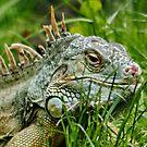 Iggy the Iguana by AnnDixon