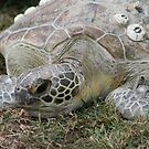 Green Turtle... by A1000WORDS