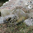 Green Turtle... von A1000WORDS