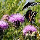 Male Black Swallowtail Butterfly by barnsis