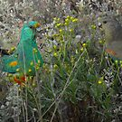 Mulga Parrots (Psephotus varius) Feeding - Point Lowly Peninsula, South Australia by Dan Monceaux