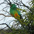 Mulga Parrot (Psephotus varius) - Point Lowly Peninsula, South Australia by Dan Monceaux
