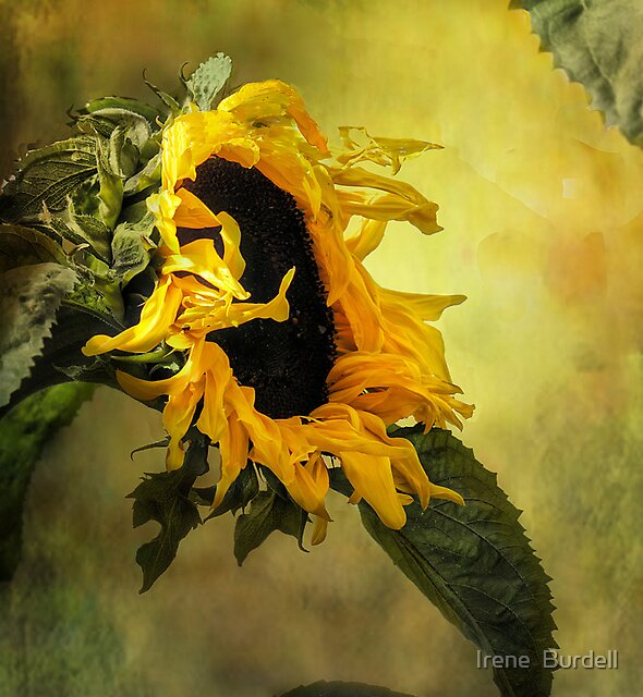 Sunflower, by Irene  Burdell