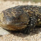 Stumpy-tailed Lizard (Tiliqua rugosa) - Port Bonython, South Australia by Dan Monceaux