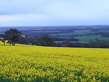 Canola fields, Mount Barker, Western Australia by DashTravels