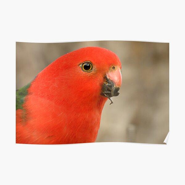 King parrot - Alisterus scapularis Poster