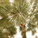 Palm Tree- St. Kitts, Eastern Caribbean by Jenny Hambleton