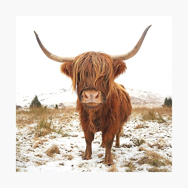 Highland Cow Colour Photographic Print