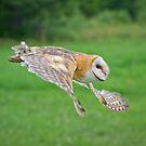 Barn Owl in Flight by Daniel  Parent