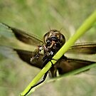 Dragonfly eating a Fly by lindsycarranza