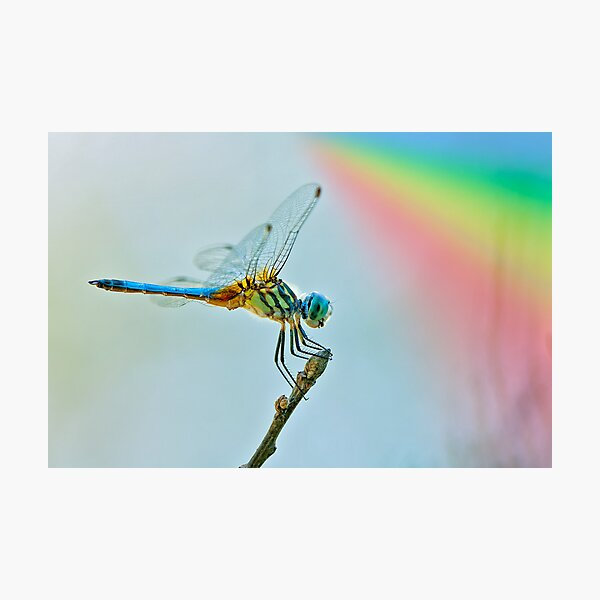 Rainbow Dragonfly Photographic Print