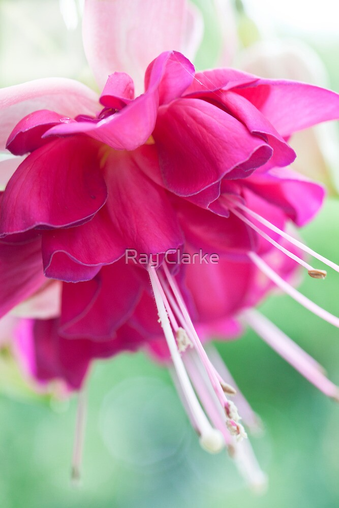 Bella Rosella by Ray Clarke