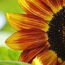 Peek A Boo Sunflower by Jonice